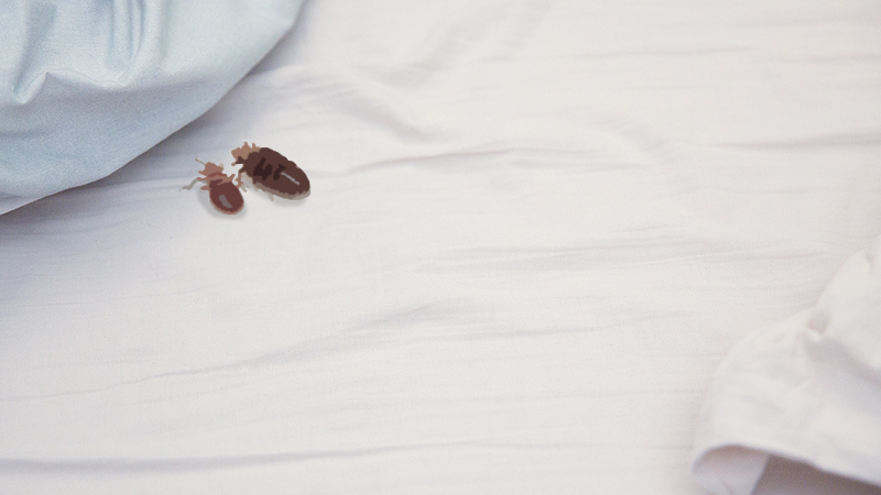 Photo of bed bugs on bed