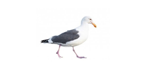 seagull control guardian pest solutions